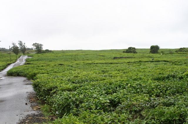 Plantaciones té Bois Chéri