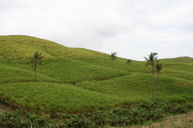 Cañaverales Mauricio