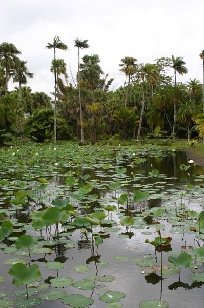 Lago de flores de loto