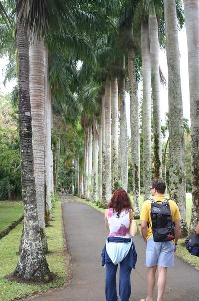 Palmeras Reales, procedentes de Cuba