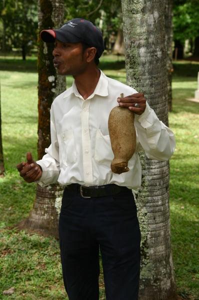 Fruto del árbol del salami
