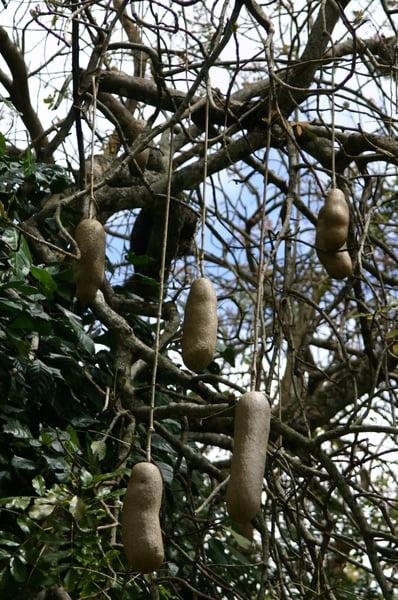 Árbol del salami