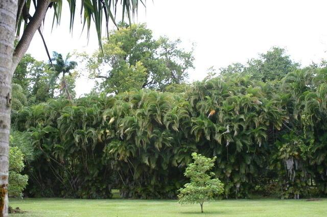 Seto impenetrable de palmeras