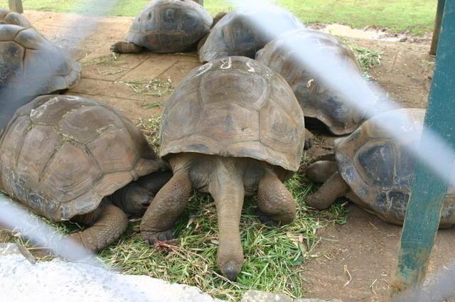 Tortugas gigantes Mauricio