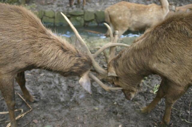 Ciervos en Mauricio