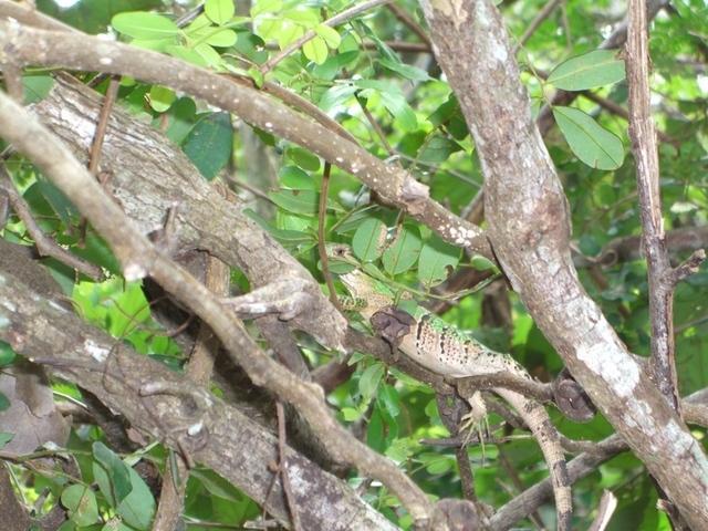 Lagarto o iguana